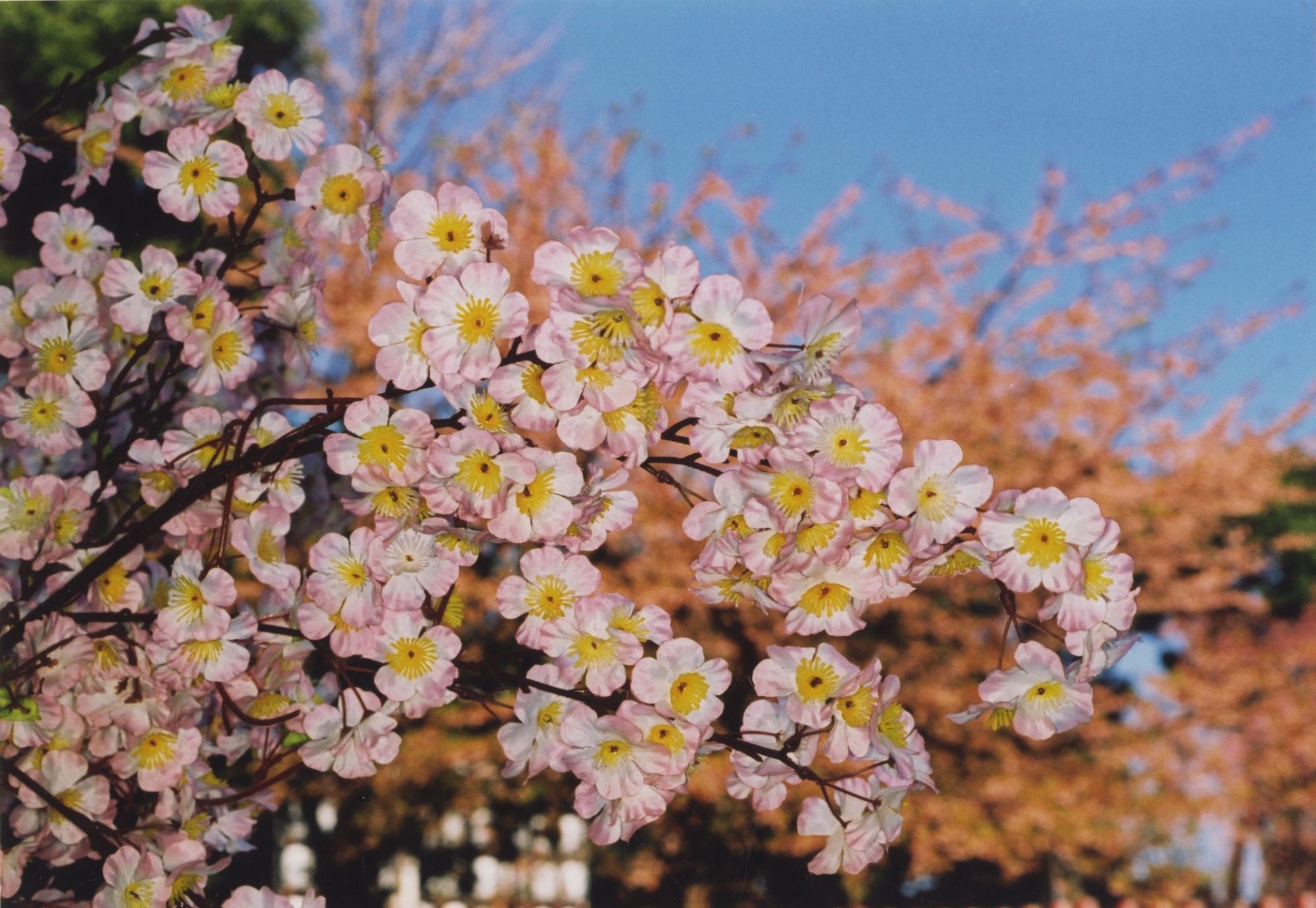 Martin Parr: Cherry Blossom Time in Tokyo, 2000, Limited Edition (with 20 Original Color Photographs)