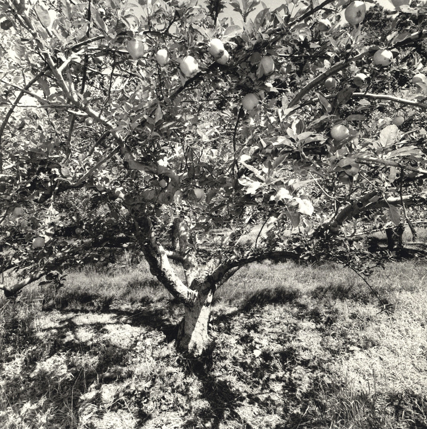 Lee Friedlander: Apples and Olives [SIGNED]